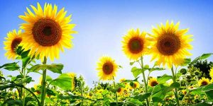 girasoli_sunflowers