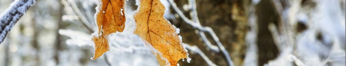 oak-leaves-frost